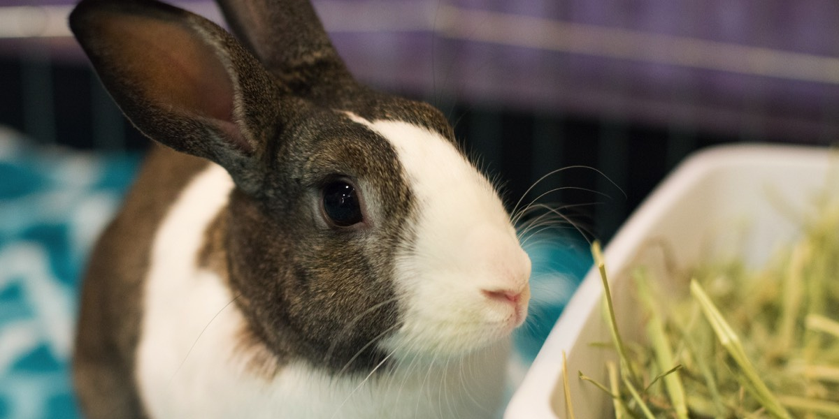 Brown and white Dutch rabbit