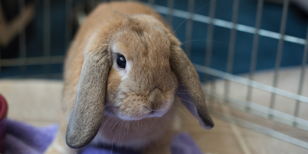 Brown lop rabbit