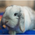 photo of gray lop rabbit
