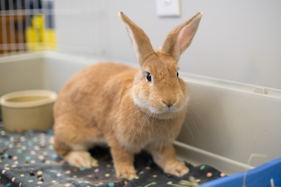 Autumn, adoptable from Triangle Rabbits