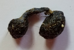 Two rabbit poops connected with fur