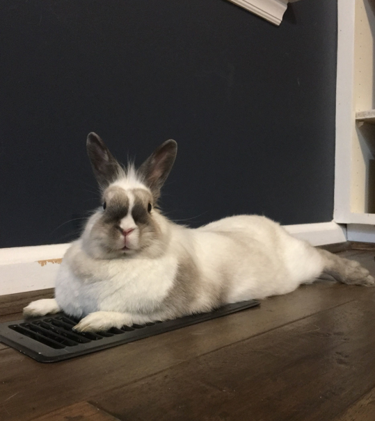 Rabbit on air conditioning vent