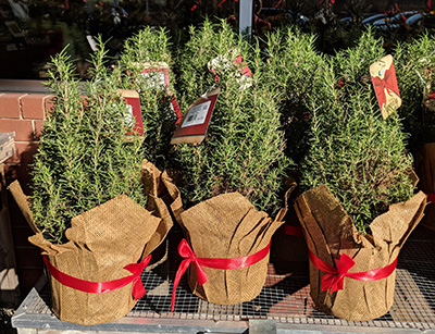 Festive rosemary shrubs