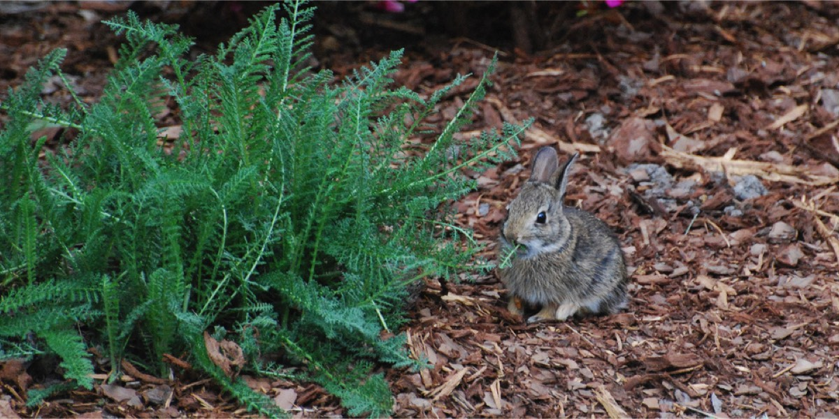 Wild baby bunny eating a plant in a flower bed